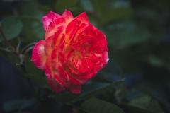 EH1_Rose1