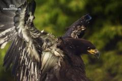 Adler bei der Landung