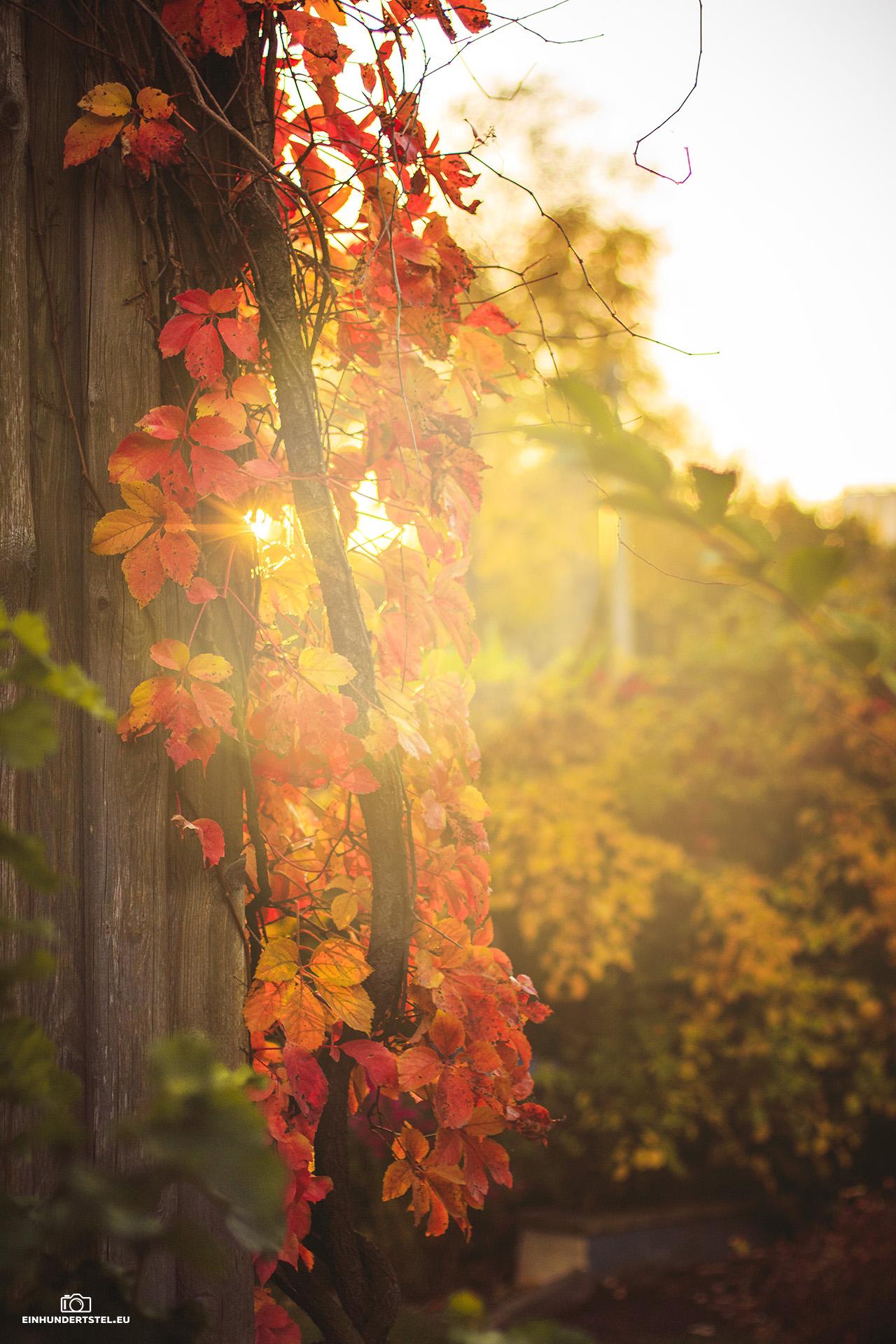 Bild zeigt herbstlich rote Blätter überblendet von Sonnenstrahlen