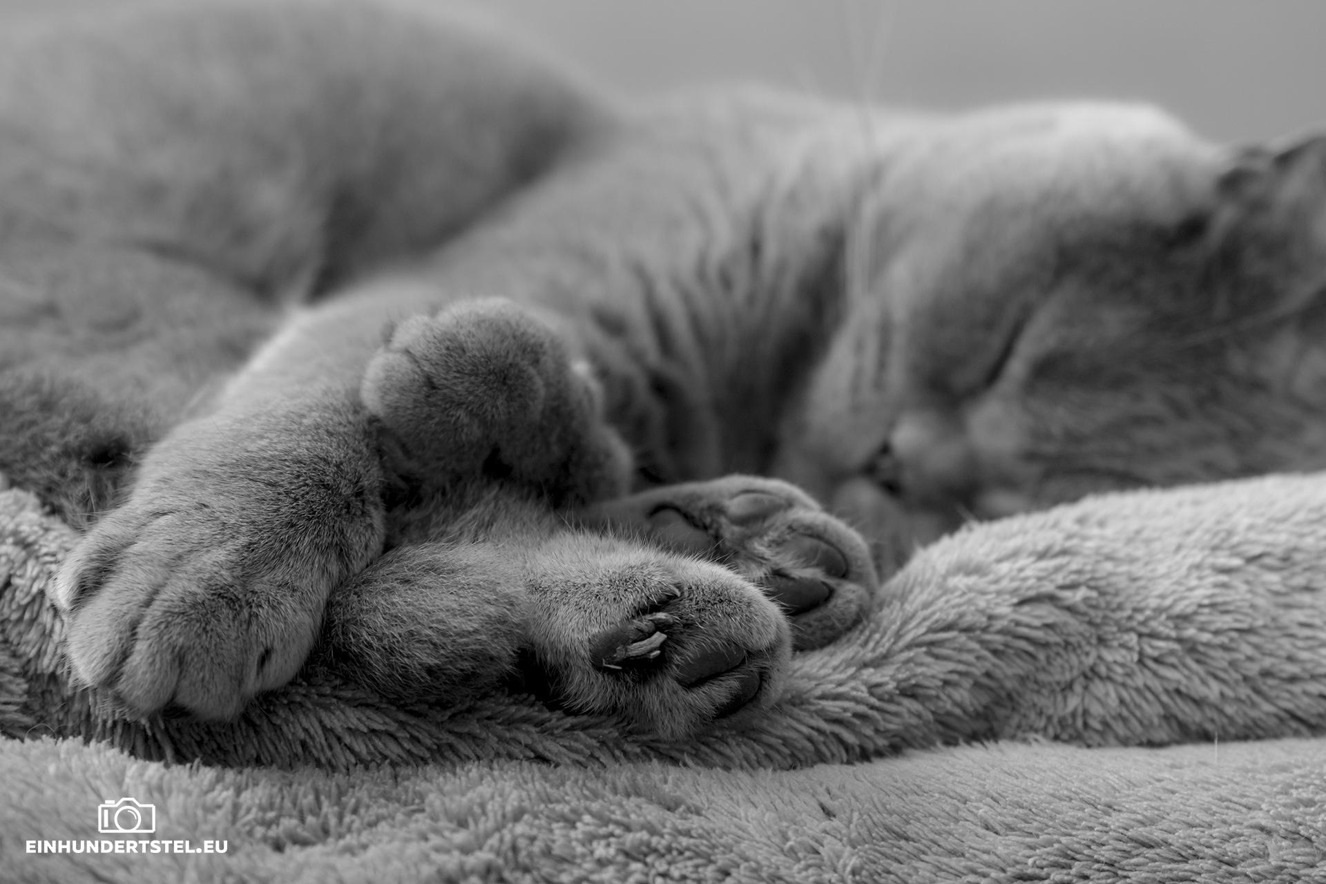 Britisch-Kurzhaar Katze Bella schlafen. Fokus auf den Pfoten. Schwarzweiß