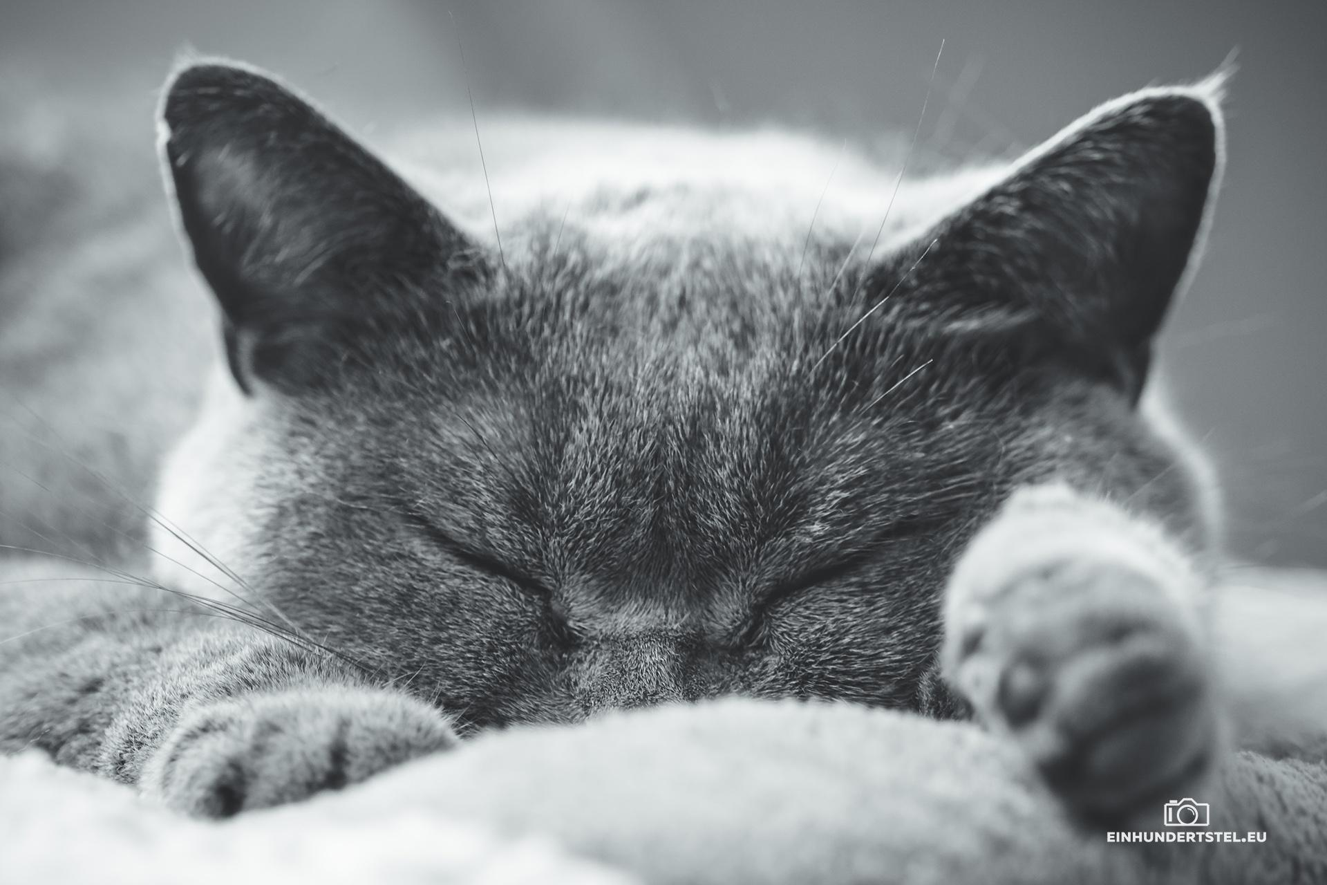 Britisch-Kurzhaar Katze Bella schlafen. Fokus auf dem Gesicht. Schwarzweiß