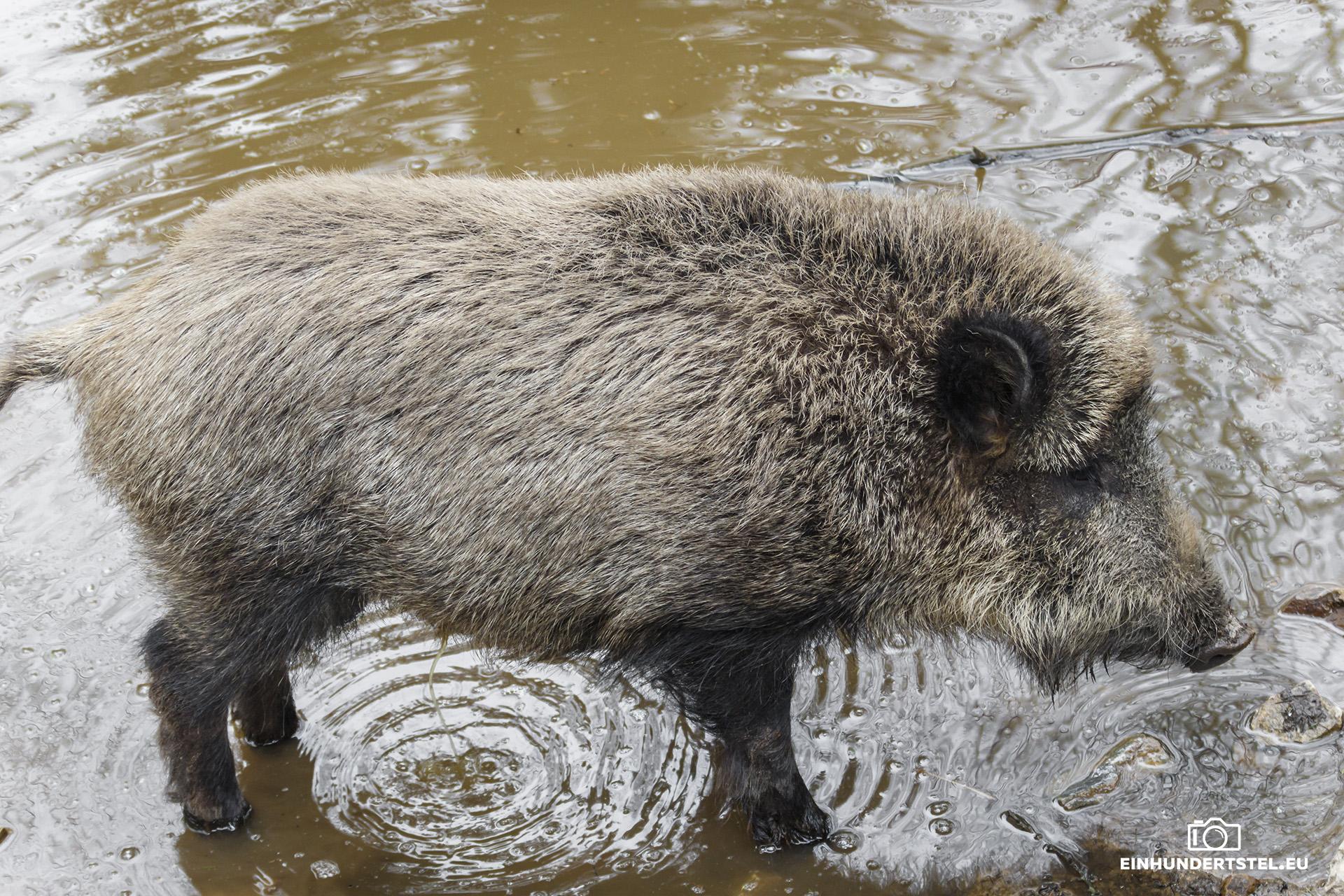 halten wildschweine winterschlaf