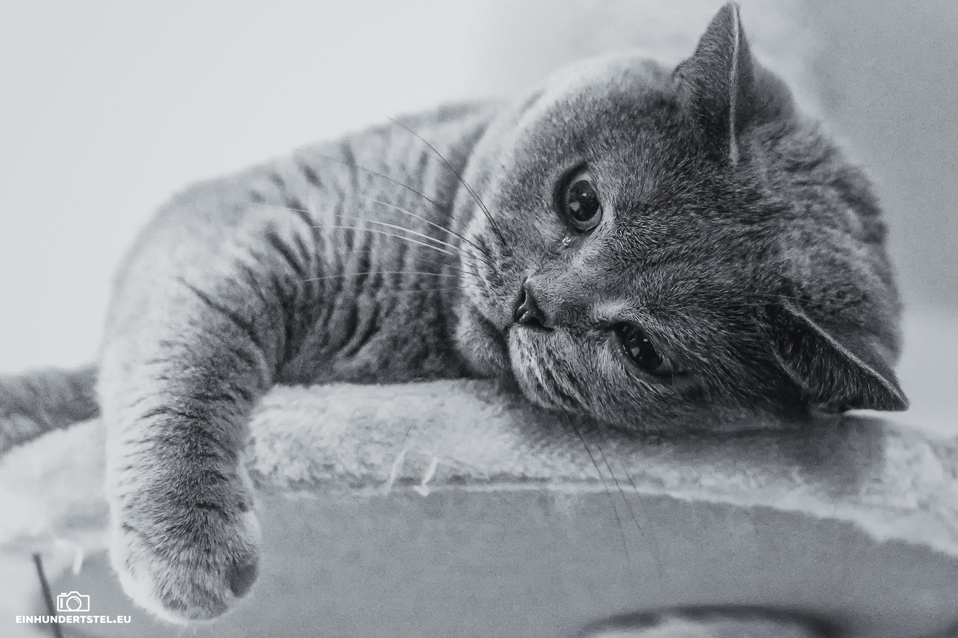 Britisch-Kurzhaar-Katze Bella spielt auf ihrem Kratzbaum. schwarzweiß