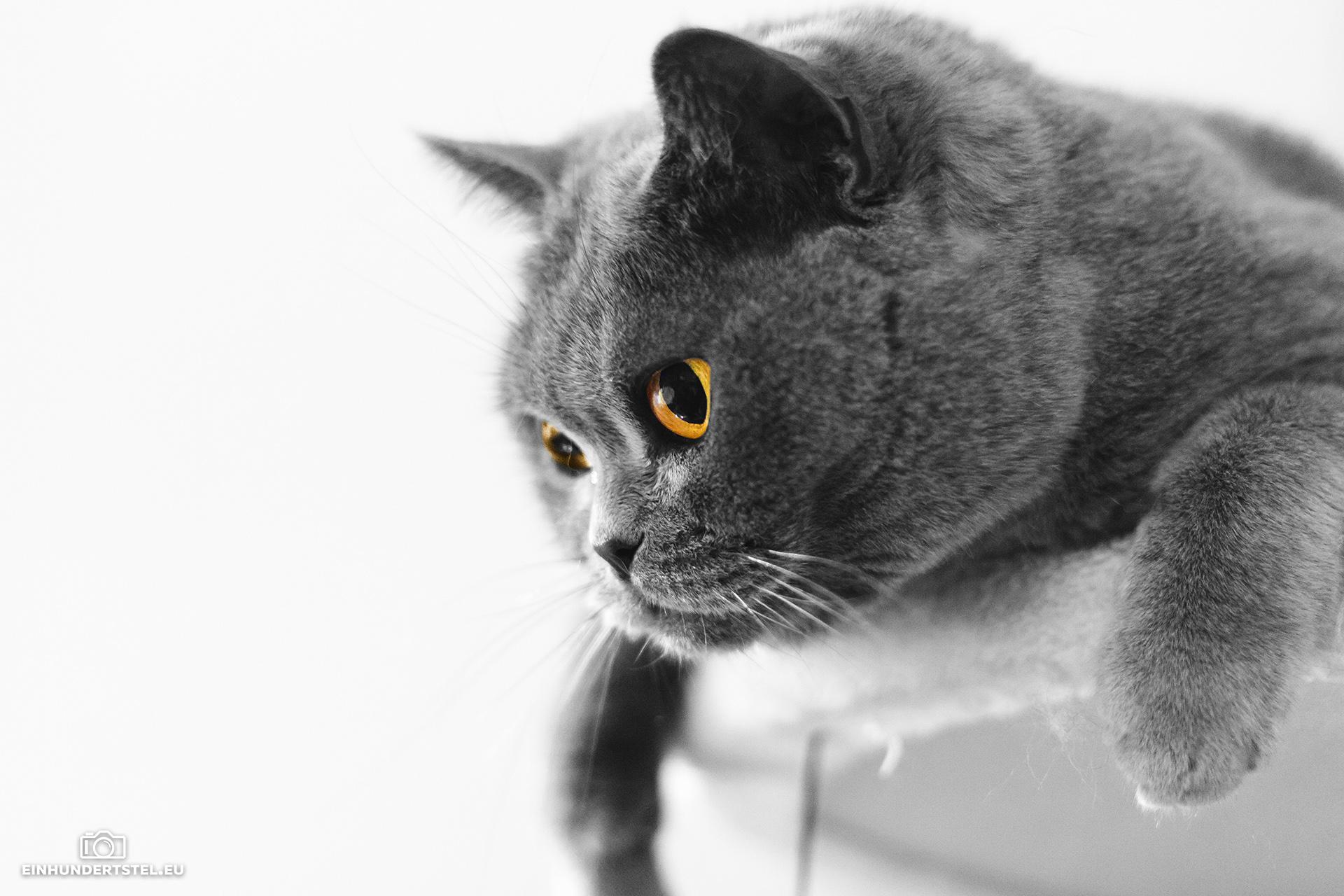 Schwarzweiß-Bild. Britisch-Kurzhaar-Katze Bella beobachtet vom Kratzbaum aus. Augen sind bernsteinfarben sichtbar.