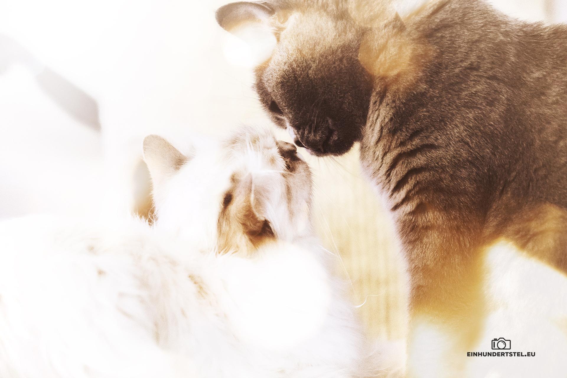 Britisch Kurzhaar Bella und Heilige Birma Tavi geben sich ein Küsschen