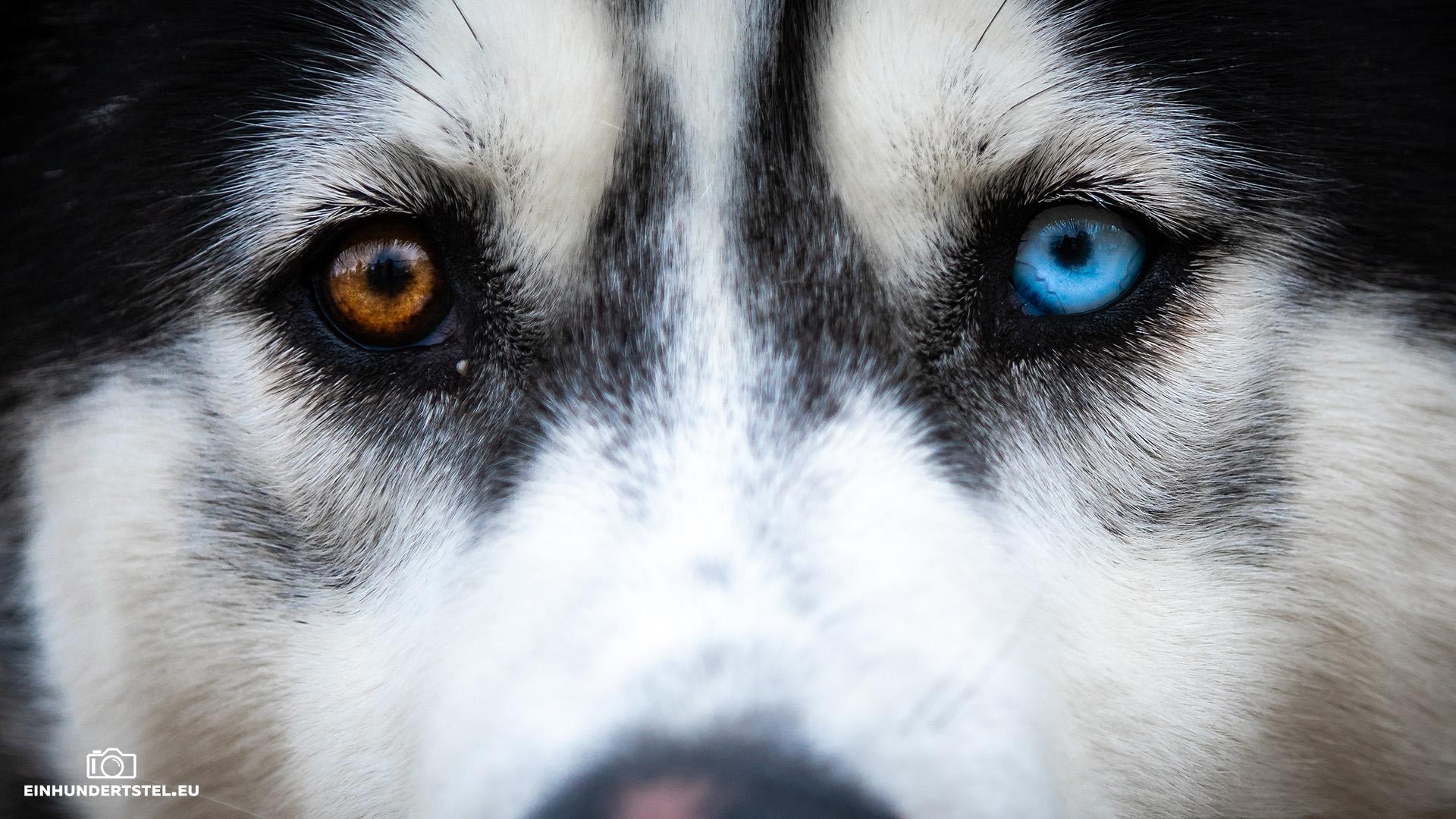 Husky mit zwei verschiedenen Augenfarben beim Baltic Lights Fest.