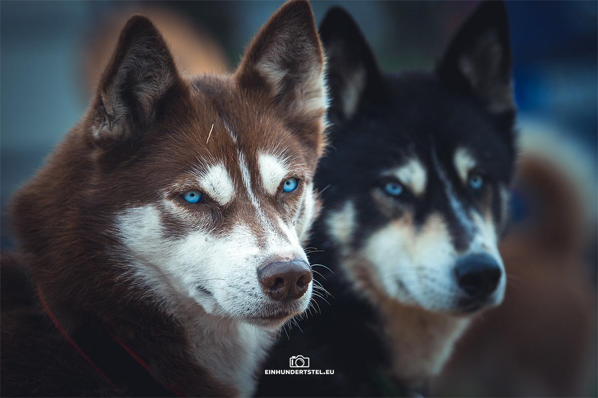 Zwei Huskyhunde beim Baltic Lights Fest.