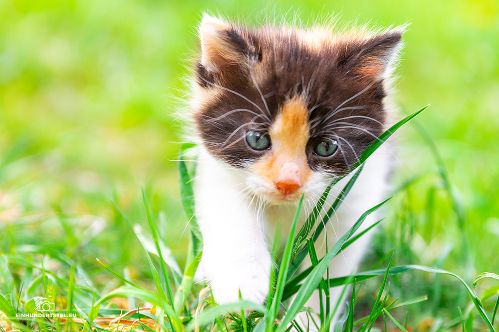Dieses Bild hat ein leeres Alt-Attribut. Der Dateiname ist Kitten-Elli-45-Wochen027.jpg