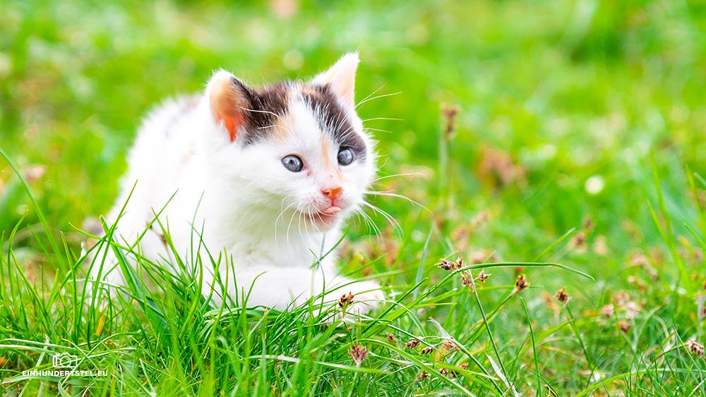 Dieses Bild hat ein leeres Alt-Attribut. Der Dateiname ist Kitten-Elli-45-Wochen032.jpg