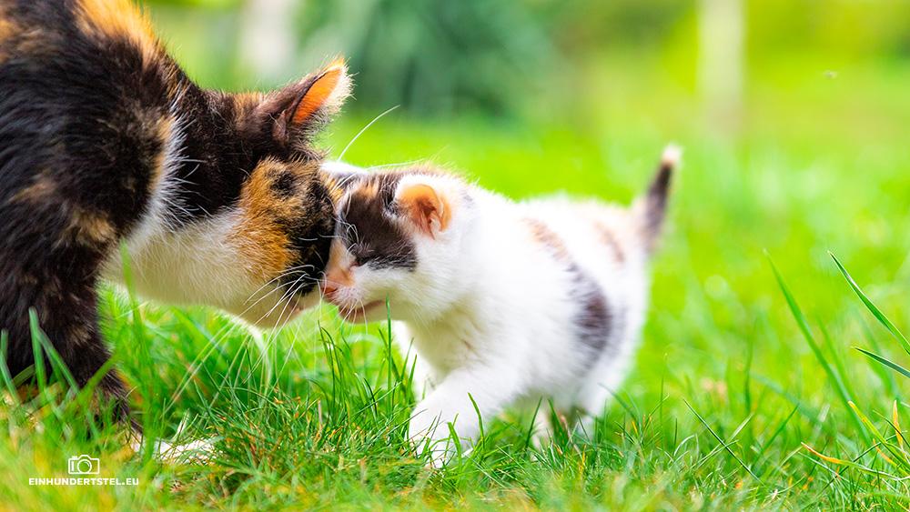 Dieses Bild hat ein leeres Alt-Attribut. Der Dateiname ist Kitten-Elli-45-Wochen039.jpg