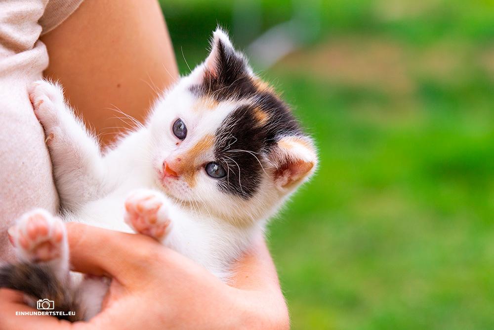 Dieses Bild hat ein leeres Alt-Attribut. Der Dateiname ist Kitten-Elli-45-Wochen051.jpg
