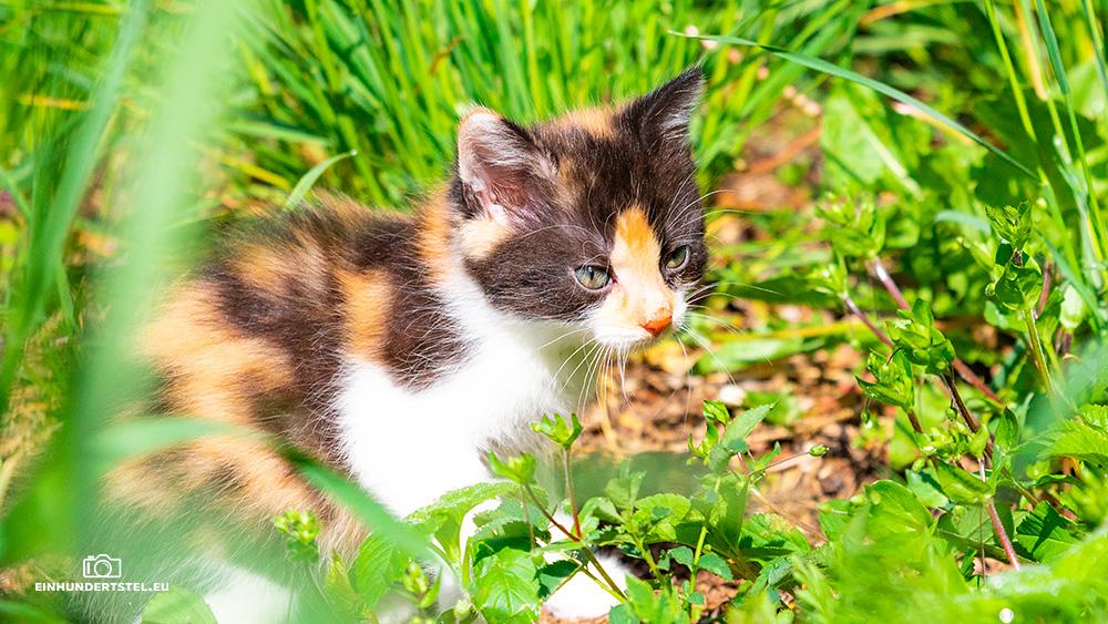Dieses Bild hat ein leeres Alt-Attribut. Der Dateiname ist Kitten-Elli-6-Wochen034.jpg