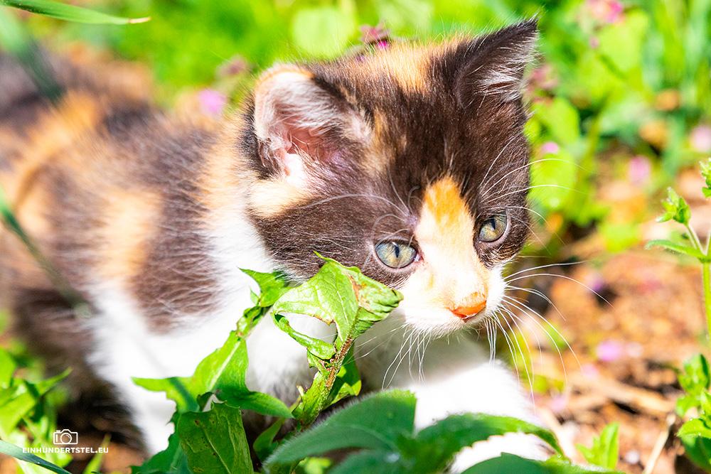 Dieses Bild hat ein leeres Alt-Attribut. Der Dateiname ist Kitten-Elli-6-Wochen036.jpg