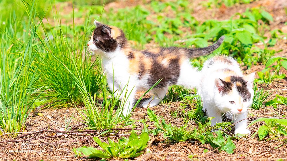 Dieses Bild hat ein leeres Alt-Attribut. Der Dateiname ist Kitten-Elli-6-Wochen046.jpg