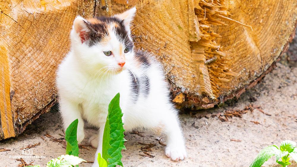 Dieses Bild hat ein leeres Alt-Attribut. Der Dateiname ist Kitten-Elli-6-Wochen064.jpg