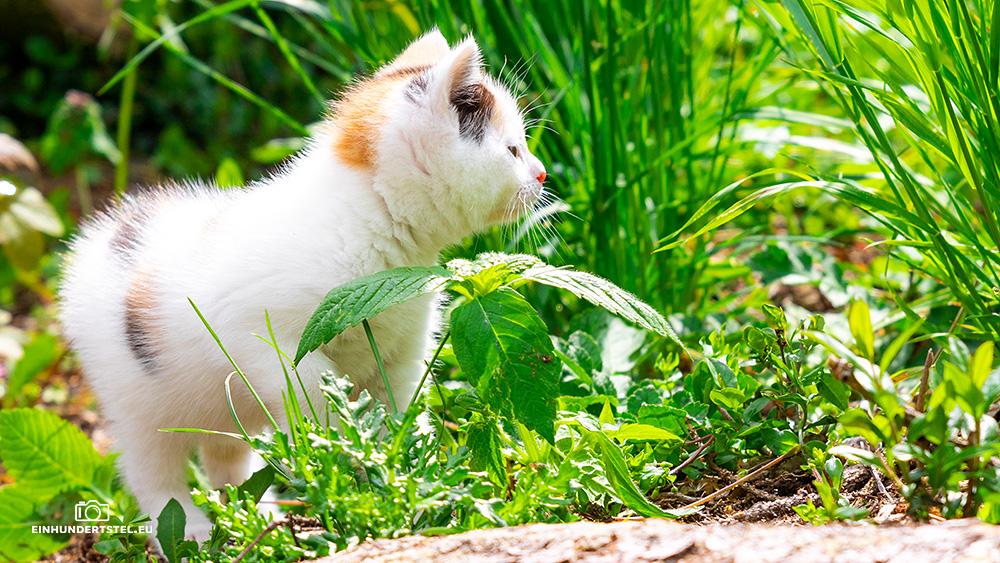 Dieses Bild hat ein leeres Alt-Attribut. Der Dateiname ist Kitten-Elli-6-Wochen067.jpg