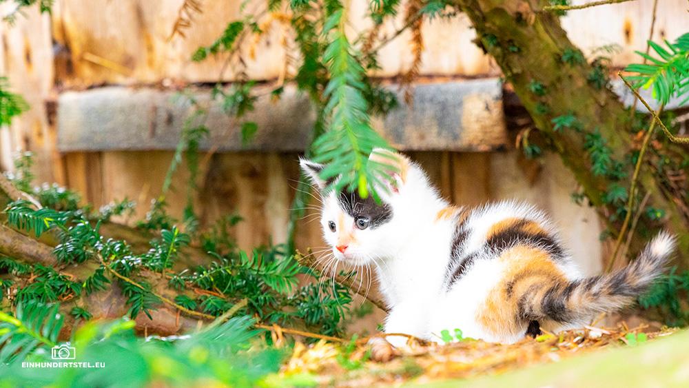 Dieses Bild hat ein leeres Alt-Attribut. Der Dateiname ist Kitten-Elli-6-Wochen094.jpg