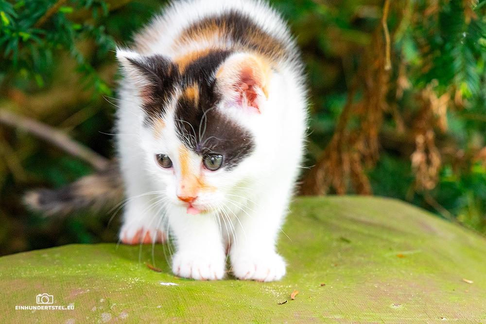 Dieses Bild hat ein leeres Alt-Attribut. Der Dateiname ist Kitten-Elli-6-Wochen096.jpg