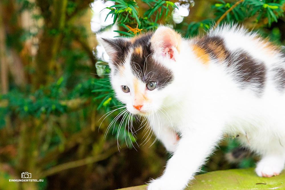 Dieses Bild hat ein leeres Alt-Attribut. Der Dateiname ist Kitten-Elli-6-Wochen097.jpg