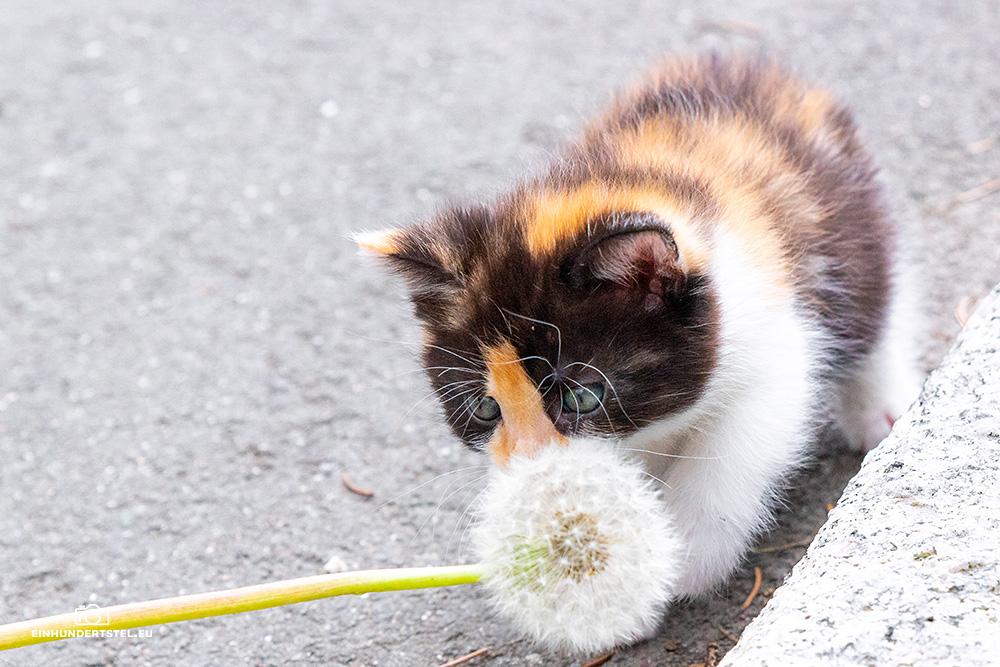 Dieses Bild hat ein leeres Alt-Attribut. Der Dateiname ist Kitten-Elli-6-Wochen099.jpg
