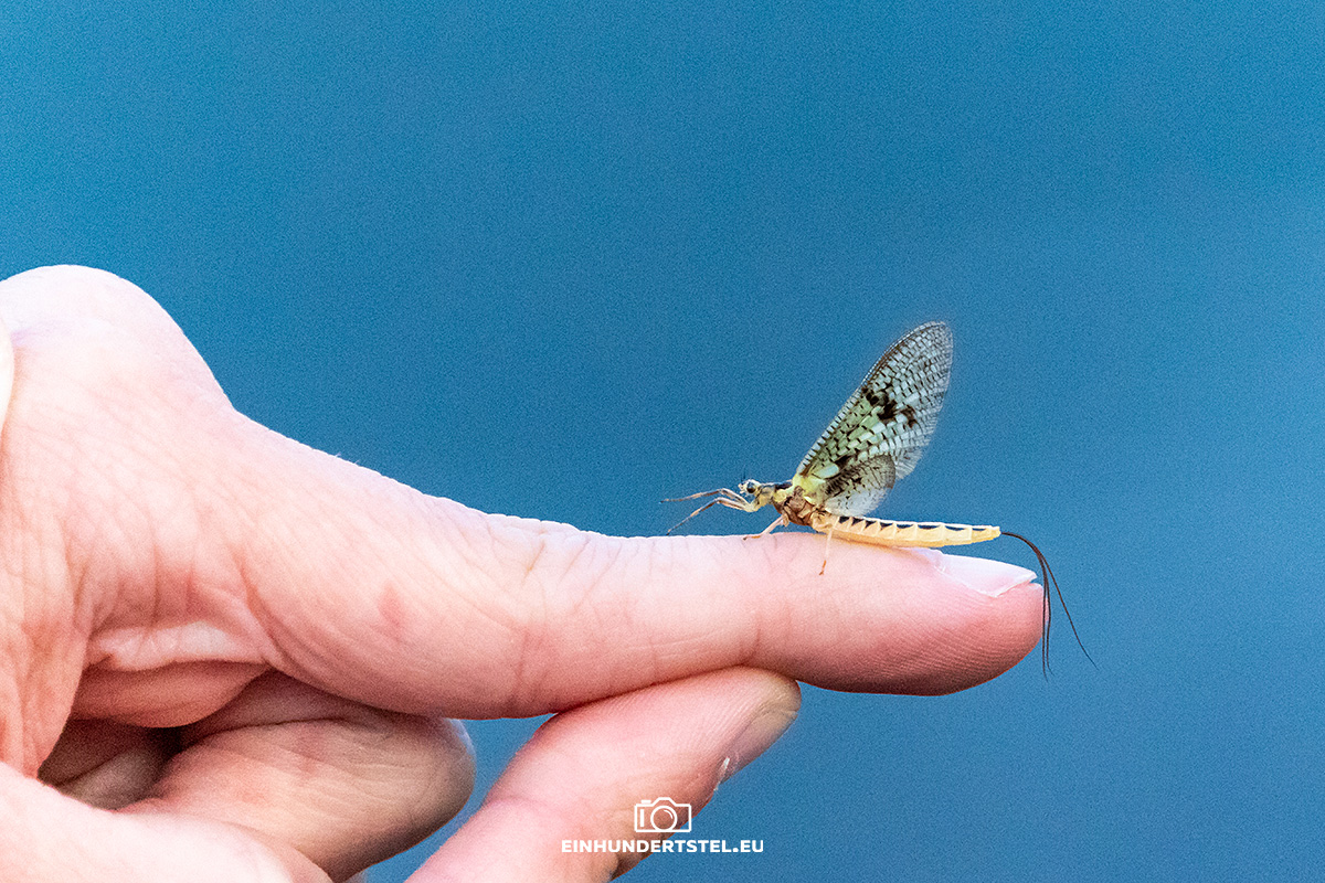 Eintagsfliege auf Finger