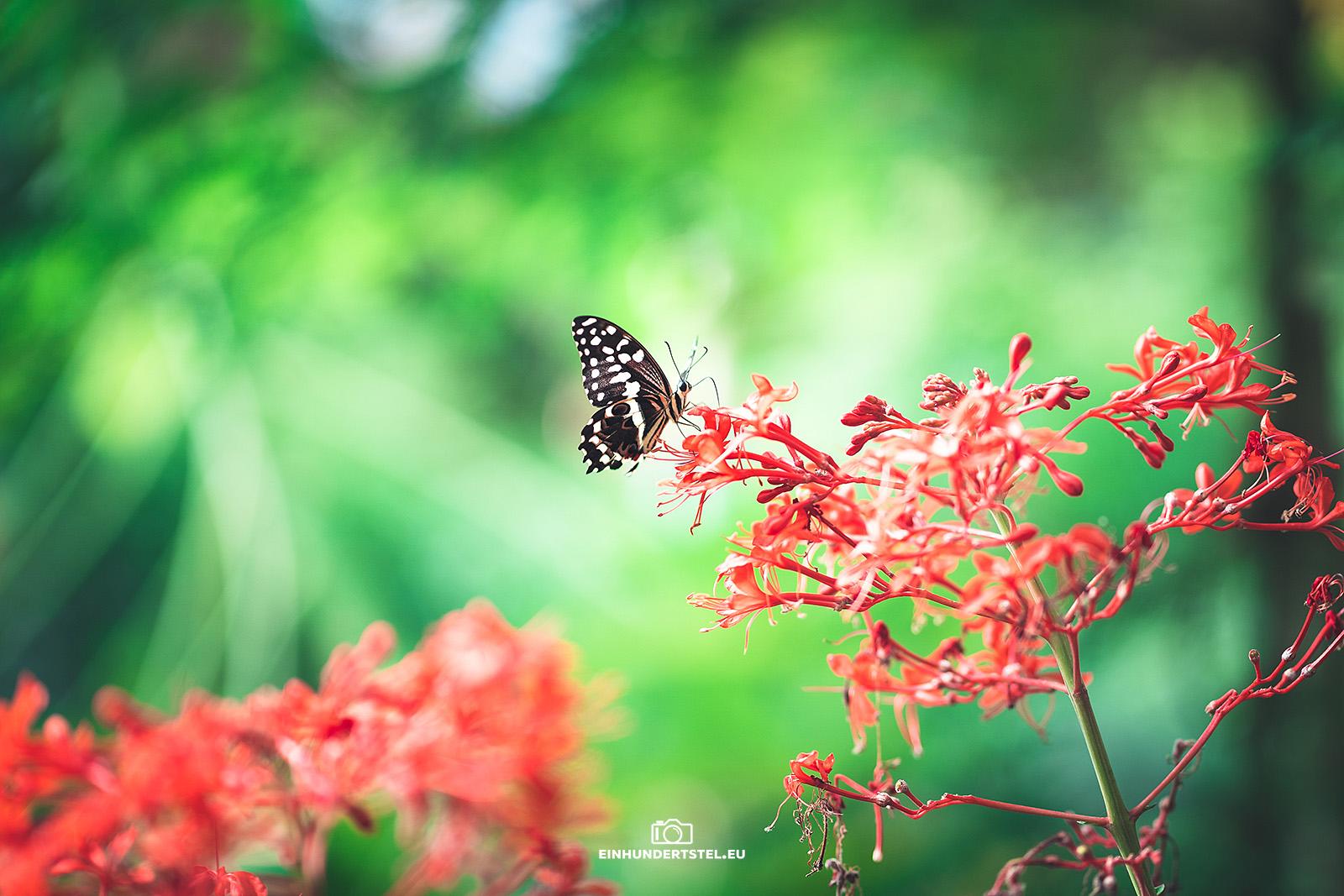 Schmetterling sitzt auf einer roten Blüte in der Schmetterlingsfarm.