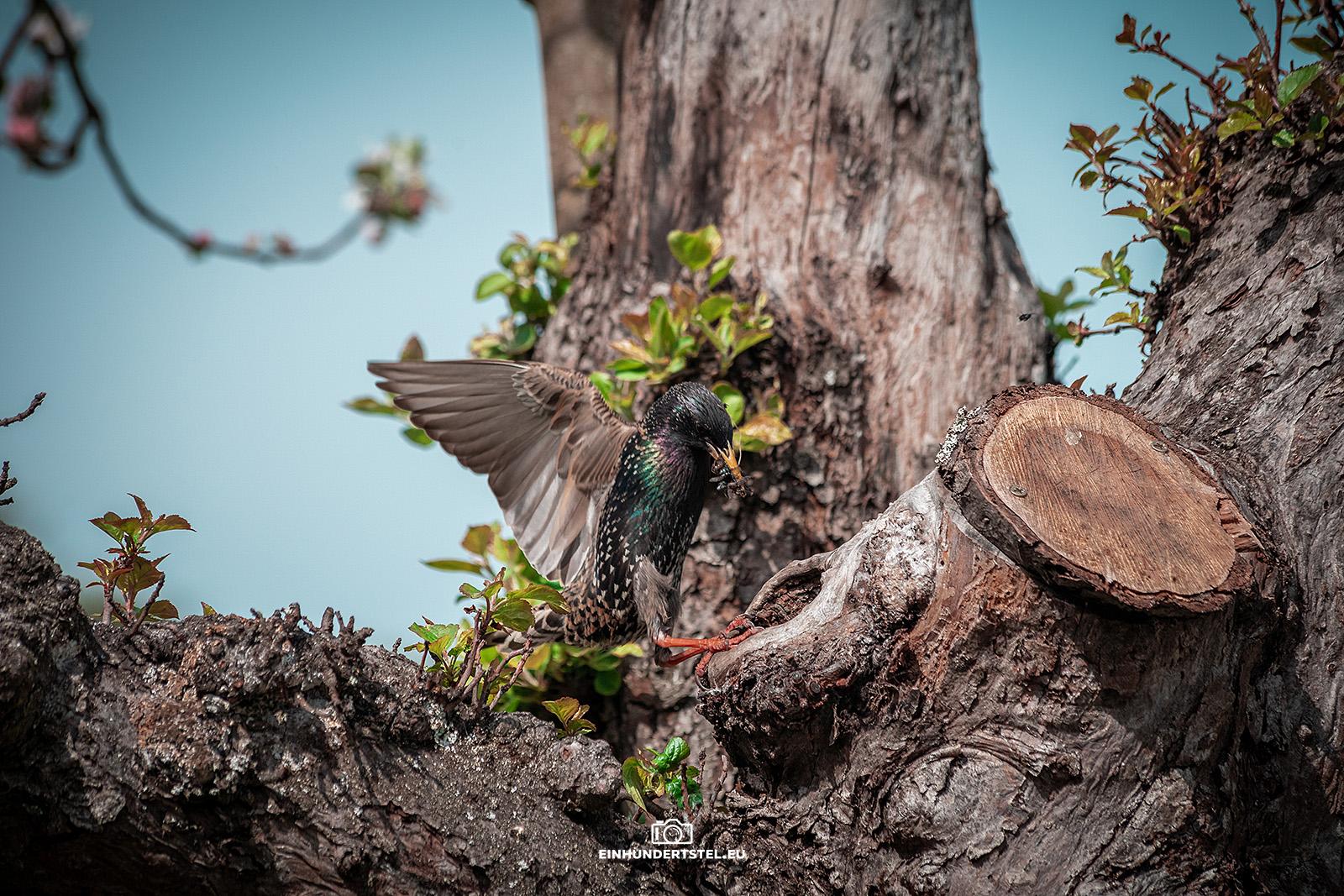 Der Star breitet seine Flügel aus um den Anflug auf das Nest abzubremsen.