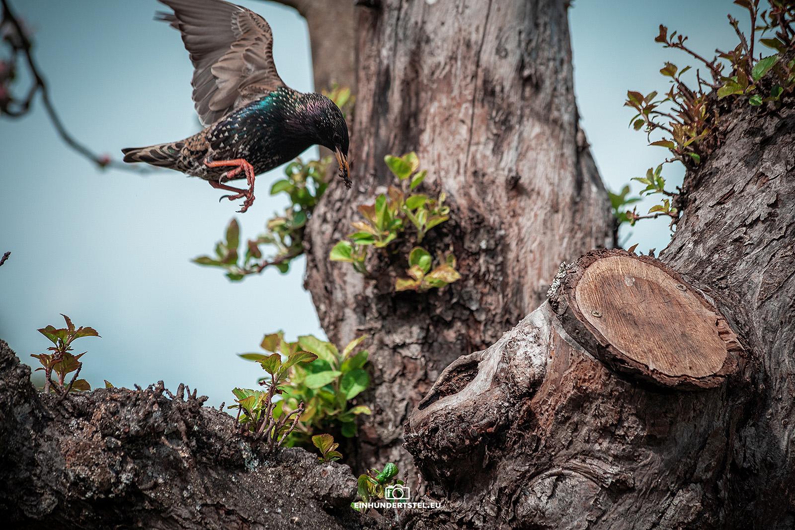 Star im Anflug auf das Nest mit der Brut