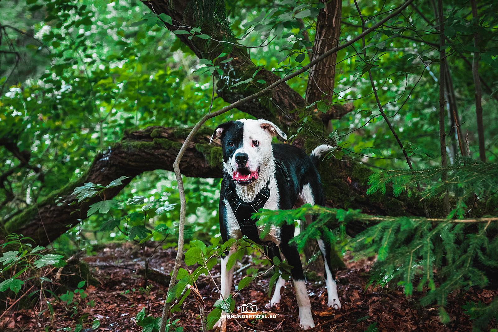 Duke im Wald