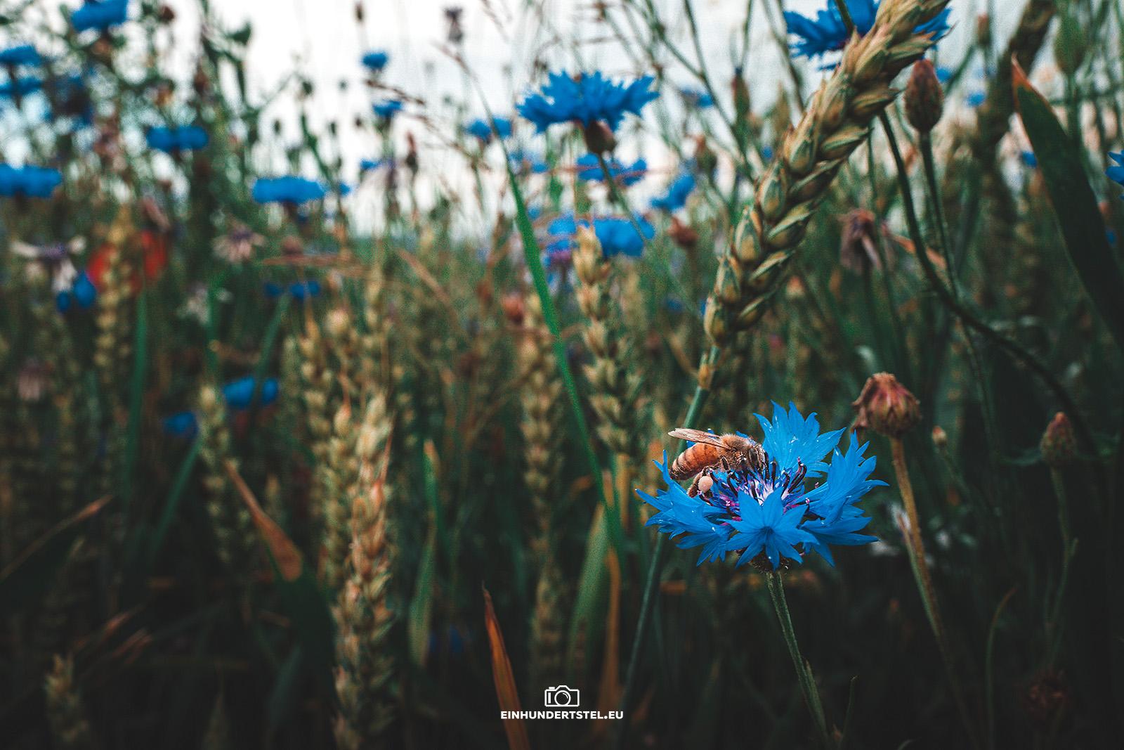 Biene sitzt auf einer Kornblume