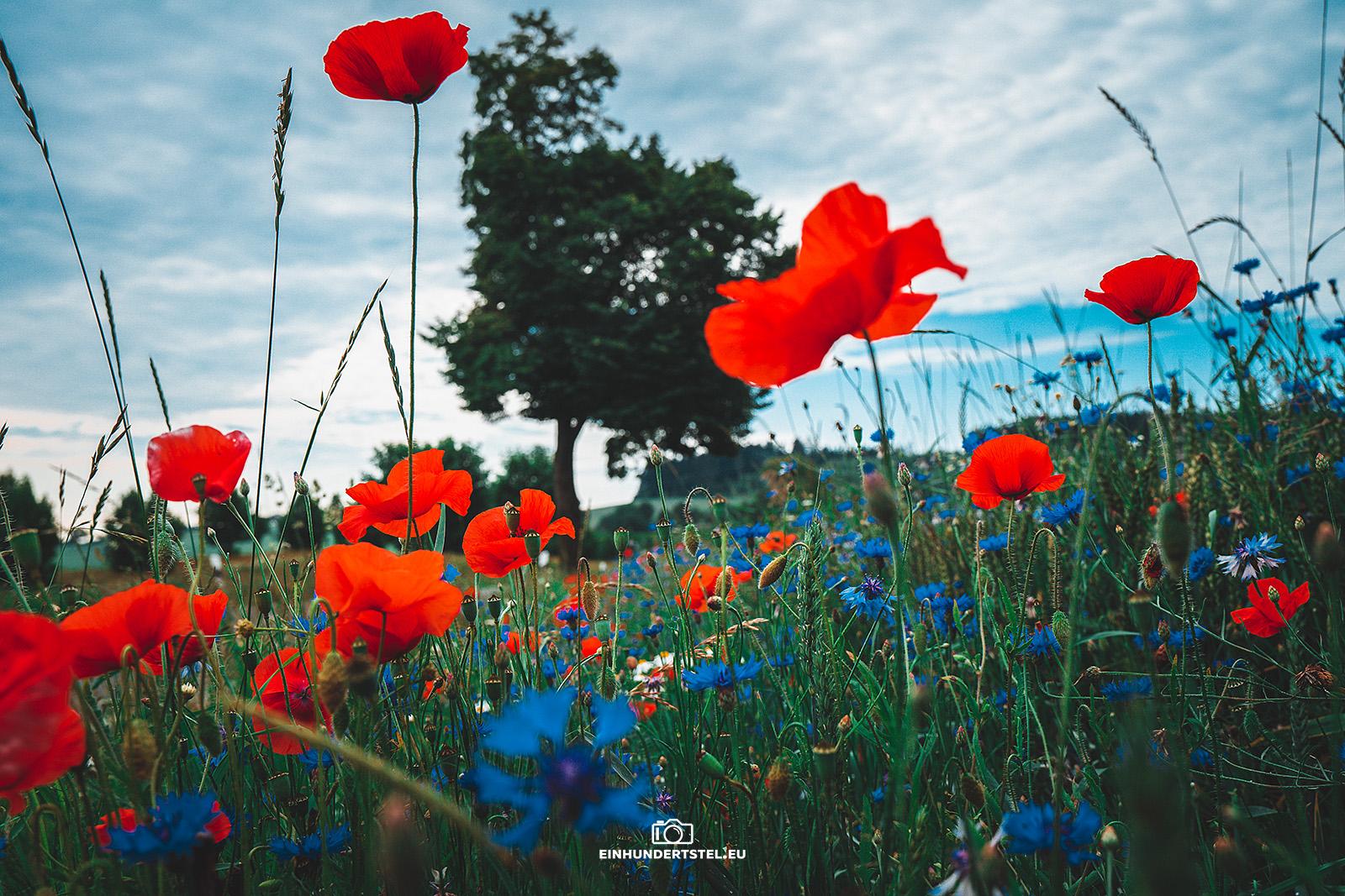 Mohnblumen und Kornblumen am Feldrand. Im Hintergrund ist ein Baum zu sehen.