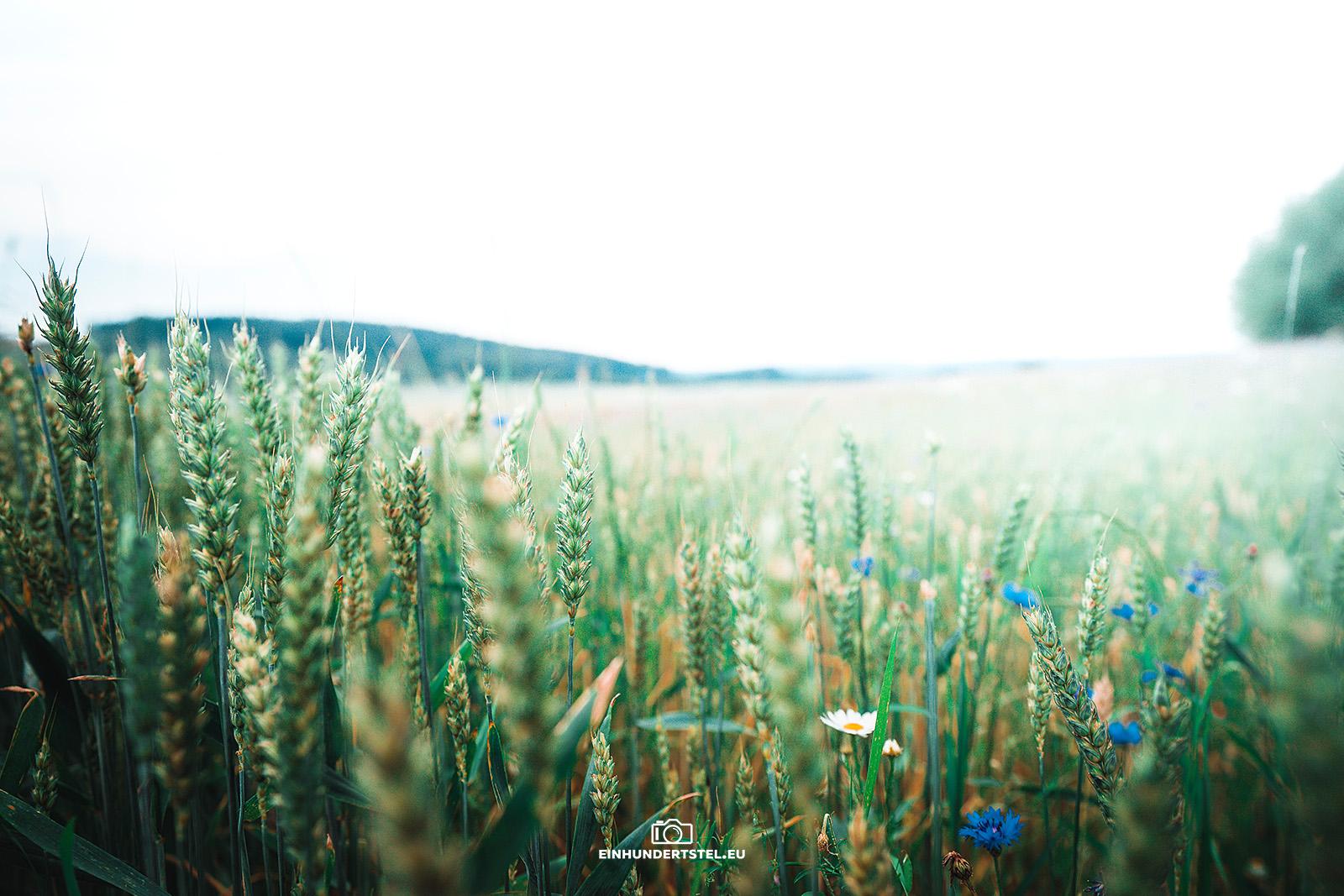 Ein Weizenfeld mit vereinzelten Kornblumen darin.